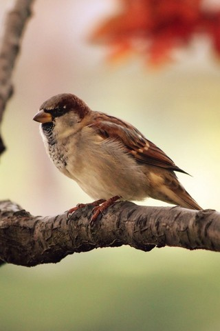 Sparrow iPod Touch Wallpaper