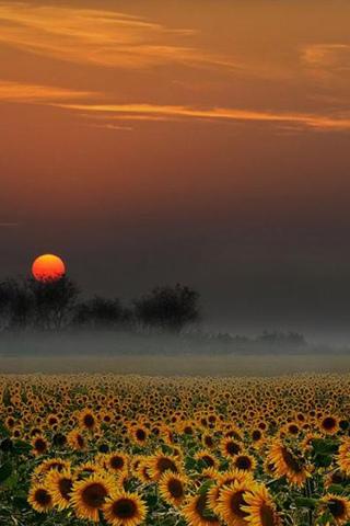 Sunflower Sunset iPod Touch Wallpaper