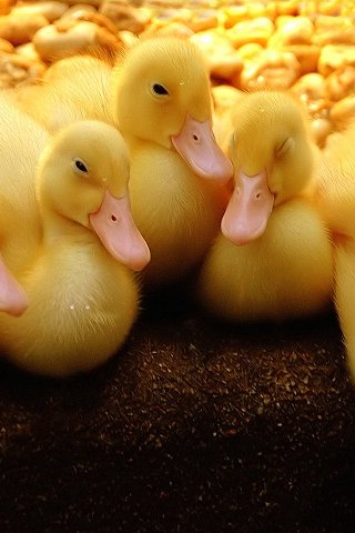 Ducks iPod Touch Wallpaper