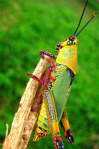 Grasshopper iPod Touch Wallpaper