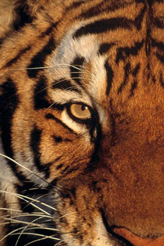 Tiger Eye iPod Touch Wallpaper