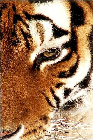 Tiger iPod Touch Wallpaper