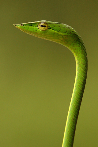Green Snake iPod Touch Wallpaper