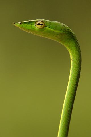 Green Snake iPod Touch Wallpaper