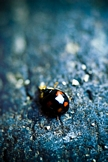 Lady Bug iPod Touch Wallpaper