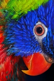 Parrot iPod Touch Wallpaper