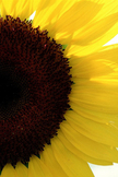 Sunflower iPod Touch Wallpaper