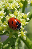 Ladybird iPod Touch Wallpaper
