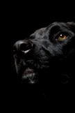 Black Dog iPod Touch Wallpaper