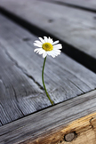 Daisy iPod Touch Wallpaper