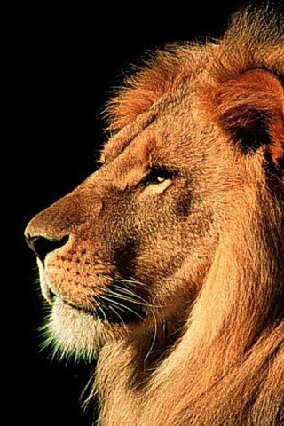 Lion iPod Touch Wallpaper